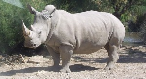 White Rhinoceros - facing extinction
